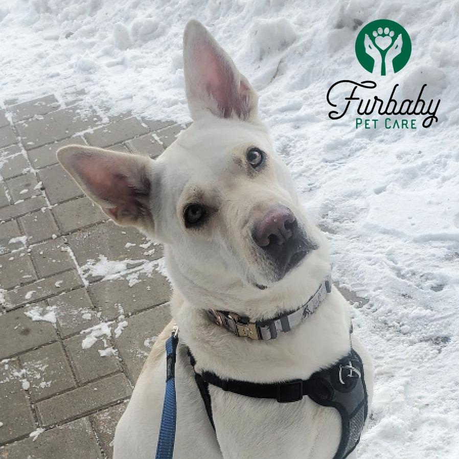 White dog on leash Furbaby Dog dalking Saskatoon