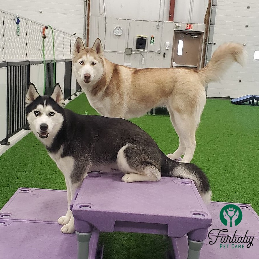 Two dogs looking at camera at Furbaby Pet Care