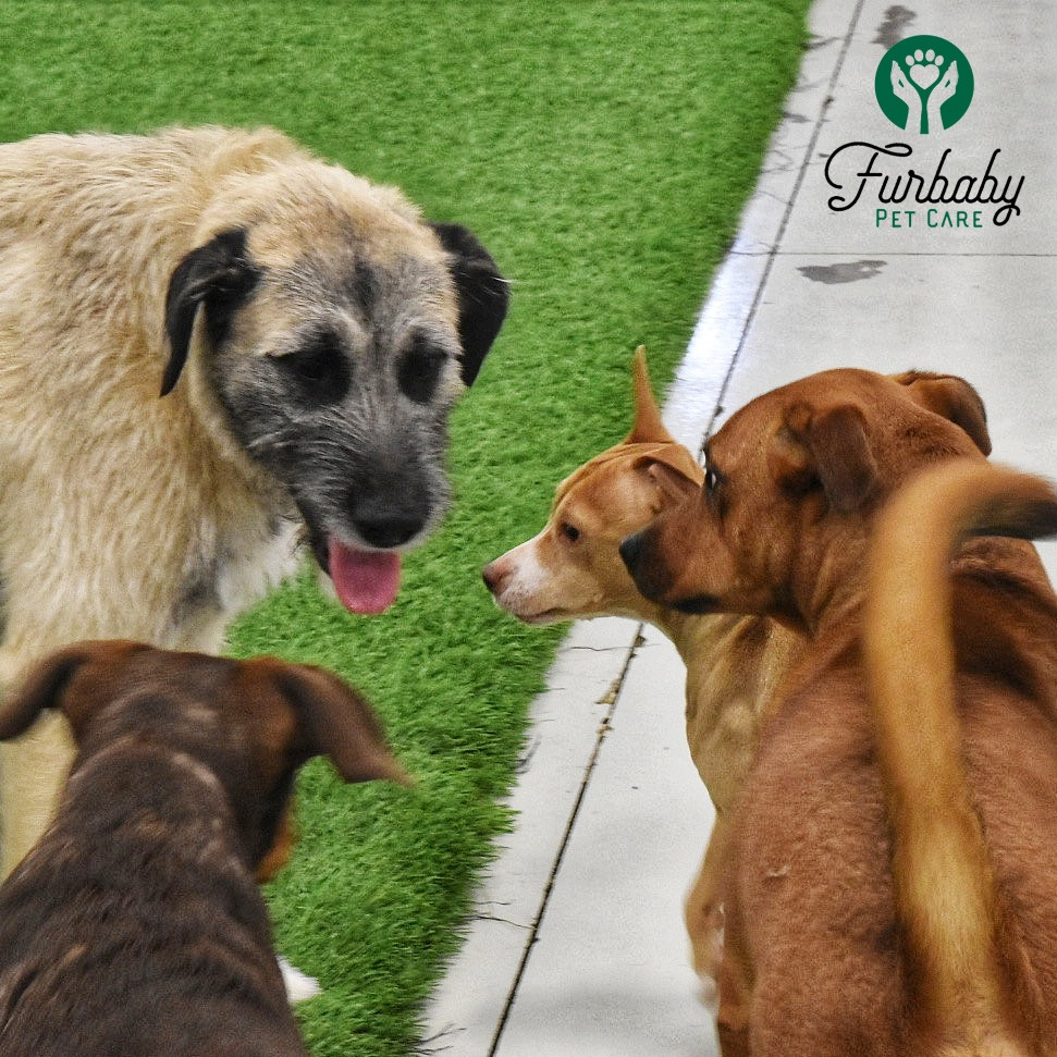 Three dogs at Furbaby Pet Care