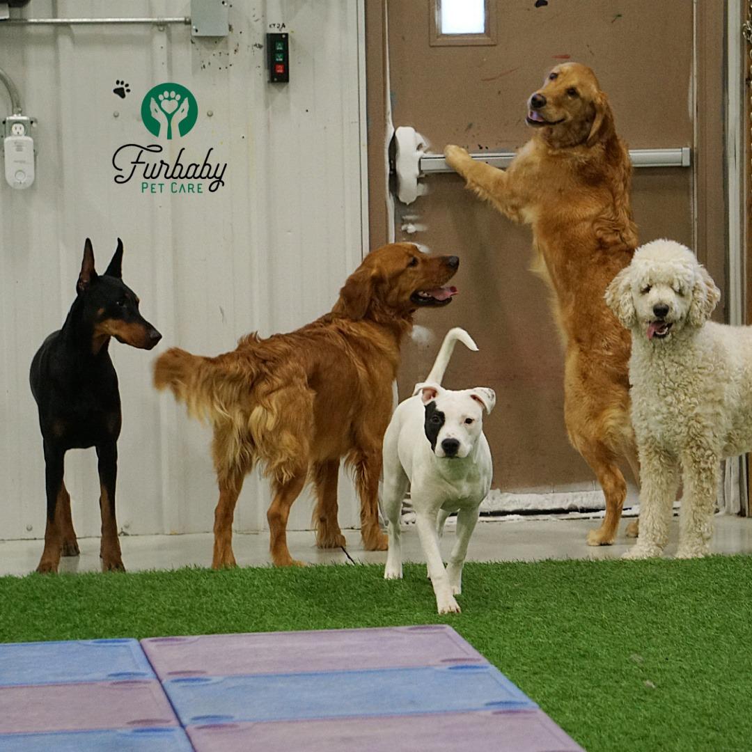 Group of dogs at Furbaby Pet Care Centre Saskatooon